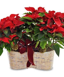 Double Poinsettia Basket Fischer Flowers
