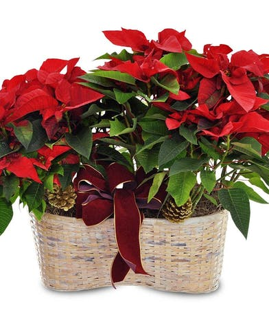 Double Poinsettia Basket Fischer Flowers