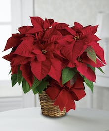 Red Poinsettia Plant in a Basket