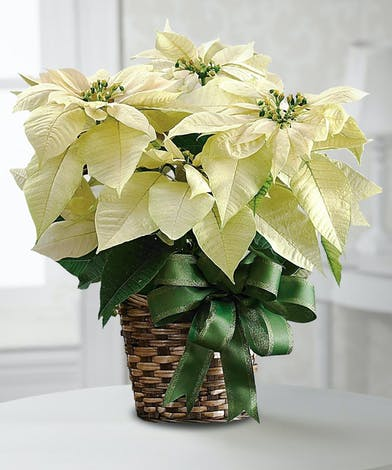 White Poinsettia Plant in a Basket - Fischer Flowers