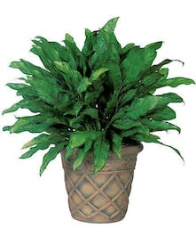 "Also known as ""Chinese Evergreen"""