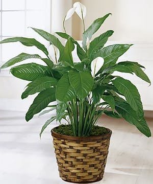 "Also known as a ""Peace Lily"" plant"