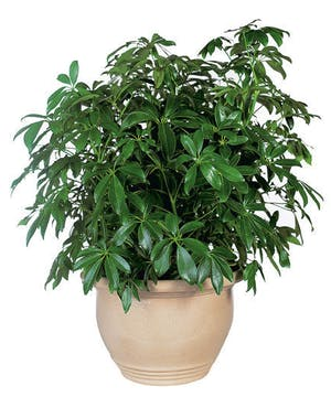 A lush, easy to care for  houseplant