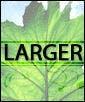Larger Corn Plant
